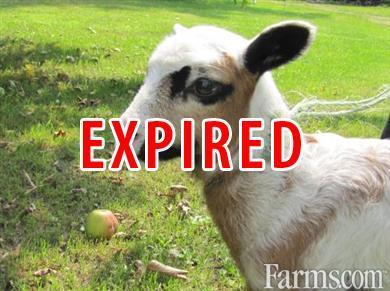 Katahdin/Barbados American Blackbelly Ewes And Lambs in Wilson, WI
