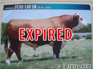 Registered Polled Hereford Bull in Sault Ste  Marie, MI for