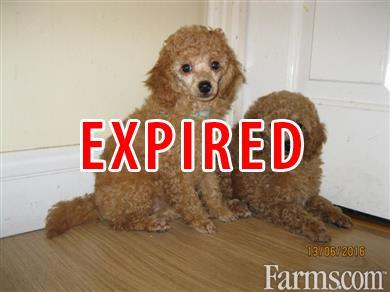 Stunning Standard Poodle Puppies for Sale | Classified | Farms com