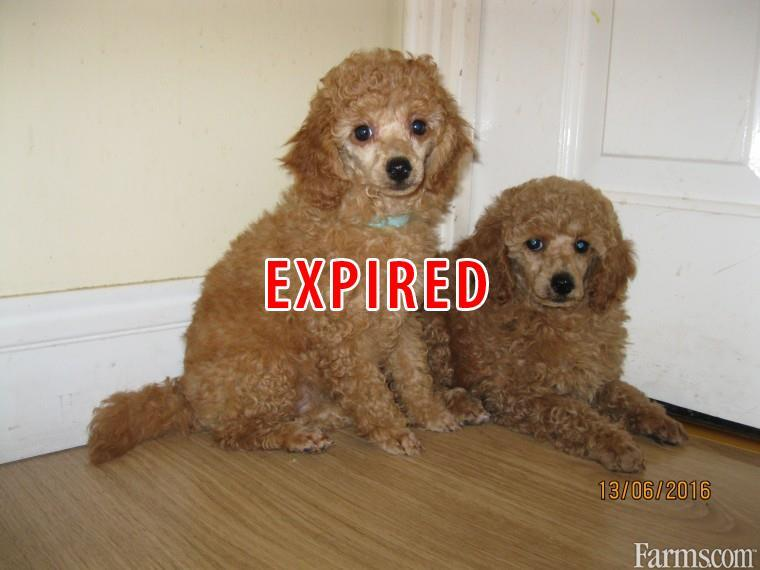Stunning Standard Poodle Puppies for Sale   Classified