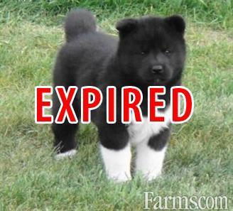 Beautiful Akita Puppies For Sale Classified Farmscom