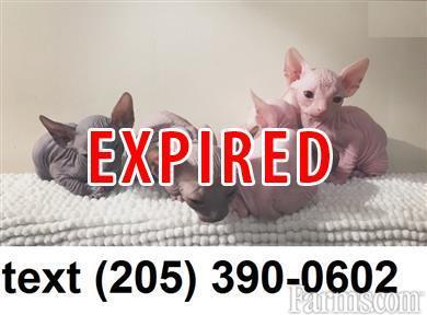 Sphynx hairless kittens for Sale